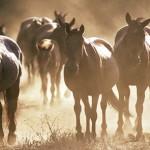 Mongolian herd