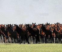 Mongolian Herd of Horses